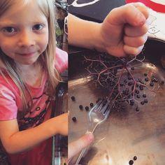 It's Elderberry Season! - A Magical Life Elderberry And Elderflower, Elderberry Syrup, Elderberry Recipes, Elderberry Season, Stomach Ache Food, Healthy Cooking, Healthy Dinner Recipes, Wild Edibles