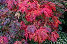 Autumn Fern leaf maple (Acer Japonicum Aconitifolium) changing to crimson red. | Flickr - Photo Sharing!