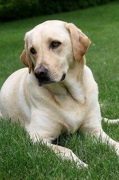 Labrador Retriever                                                                                                                                                                                 More #LabradorRetriever