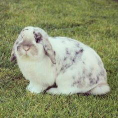 Holland Lop Bunny ❤