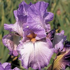 Autumn Tryst is an early to midseason bloomer that reaches 34 inches.    Tip: Cut back iris leaves to 3-4 inches after a frost to lower the chances that insects or fungal spores will overwinter in the foliage.