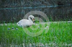 mute-swan-species-swan-member-waterfowl-family-anatidae-slovakia Mute Swan, White Swan