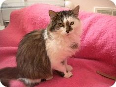 St. Paul, MN - Domestic Mediumhair. Meet Chipmunk, a cat for adoption. http://www.adoptapet.com/pet/9604147-st-paul-minnesota-cat