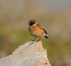Conwy stonechat