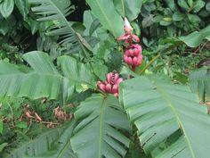 Bananito ornamental