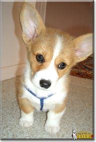 Welch Pembroke Corgie pup