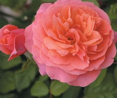 'Sarari' rose..