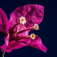 bougainvillea, flower, pink, bougainville