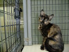 Another tortie!!   Nacho is an adoptable Domestic Short Hair Cat in Bella Vista, AR.  ...