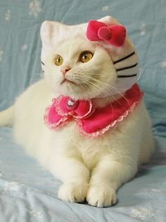 White cat as Hello Kitty #cats #costume