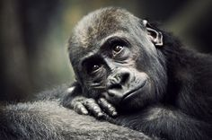 I Want To Be Free When I Grow Up by Tim McCoy. Picture taken at Brookfield Zoo, Illinois.