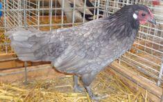 Poule d'Alsace bleue naine Alsace, Alsatian, Parrot, Animals, Blue, Parrot Bird, Animales, Animaux, Animal
