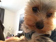 Einstein  Yorkshire Terrier | Pawshake