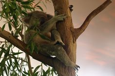 Koala cuddles on Hamilton Island The Whitsundays, Hamilton Island, Photo Story, Great Barrier Reef, Cuddles, Holiday Destinations, Nature Pictures, Travel Guides, Fun Things