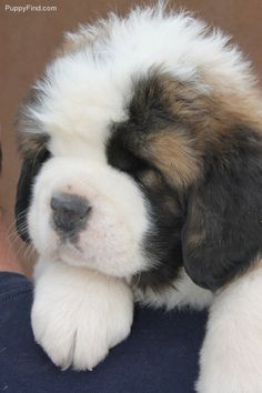 Christmas is coming and this is what i want! Baby Puppies, Baby Dogs, Cute Puppies, Cute Dogs, Dogs And Puppies, Doggies, St Bernard Puppy, Mundo Animal, Cute Baby Animals