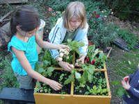 Sklizeň zeleniny zčtverečkové zahrádky vtruhlíku naplněném vermikompostem vyrobeným zkuchyňských zbytků