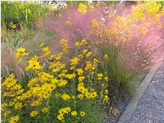 Muhlenbergia capillaris and Helianthus angustifolius; found at United States Botanic Garden