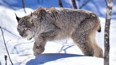 """Aroostook County photographer Paul Cyr was out last week between Washburn and Perham when he got to almost within arms length of the once elusive Canada lynx. The Maine Department of Inland Fisheries and Wildlife shared some of his """"fantastic"""" photos on its Facebook page along with a short narrative about how the animal has been increasing in population and expanding its range."""