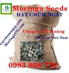 Kỹ thuật gieo ươm và chăm sóc cây Chùm ngây , Cây Chùm Ngây   Công Ty Lê Hoàng http://caynongaydat.vn http://caychumngay.com http://caychumngayvn.com http://caychumngay.com.vn
