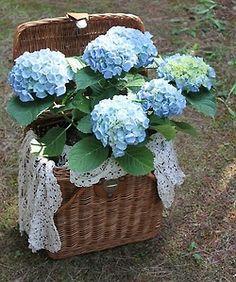 Hydrangeas in a -- fishing creel or a picnic basket