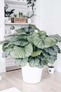 plantes à motifs calathea pot