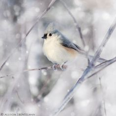 Lady Halibut's Chambers - Such a charming little bird, a tufted titmouse; one of my favorites :] - Pretty Birds, Beautiful Birds, Cottage Christmas, Winter Magic, Winter Beauty, All Gods Creatures, Little Birds, Winter Scenes, Beautiful Creatures