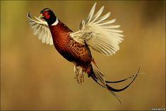 Ring-necked or Common pheasant (Phasianus colchicus)