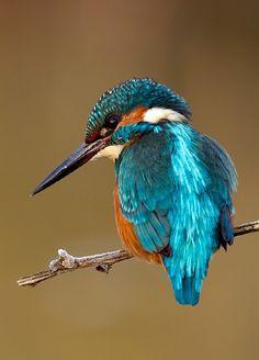 Kingfisher. m.photo.net