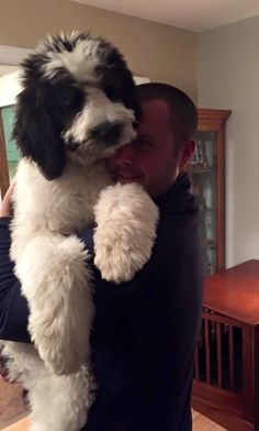 what is a st berdoodle Cute Puppies, Cute Dogs, Dogs And Puppies, Poodle Puppies, Doggies, Animals And Pets, Baby Animals, Cute Animals, Big Dogs