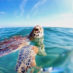 Tag someone who'd freak out to see a sea-turtle this close! Photo by Animals Of The World, Animals And Pets, Cute Animals, Ocean Creatures, Weird Creatures, Sea Turtle Wallpaper, Sea Turtle Pictures, Baby Turtles, Sea Turtles