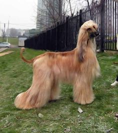 Afghan Hound, Afghans, Dog Grooming, Best Dogs, Doggies, Charlotte, Creatures, Horses, Animals