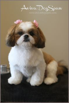shih tzu puppy after grooming, teddy bear trim, puppy cut, short round head, dog groomer in Coquitlam