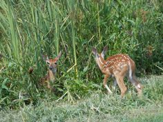 """""""I am grateful for baby animals especially fawns. This was taken by me on a recent camping trip with my family at Salt Fork in Ohio. This was the first fawns I seen this year. They look so sweet and innocent I cant help but smile whenever I see one or more.""""    Submitted by: Tracy Schoolcraft Weirton, WV  8-22-2012   """"Gratitude through photography"""" ~ #365Grateful #Gratitude #Photography #PhotoOfTheDay"""