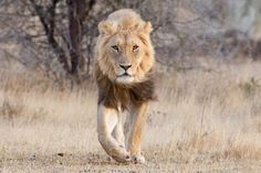 Aged South African Lion
