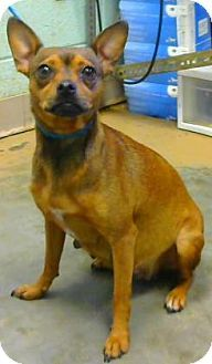 Rat Terriers For Adoption