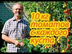 Помидоры. 10 кг томатов с каждого куста. Как этого достичь. Реальный опыт. - YouTube