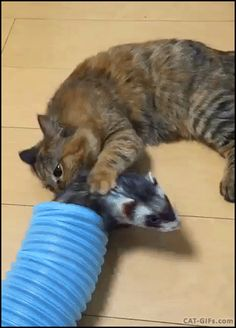Animated CAT GIF • Overconfident Cat tries to copy ferret into the tube but fails he is too big