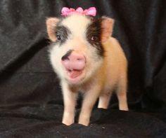 Teacup mini pig - just for @Beth Walker