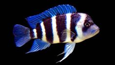 """Frontosa"" Cichlid | Scientific Name: Cyphotilapia Frontosa | Lake Tanganyika"