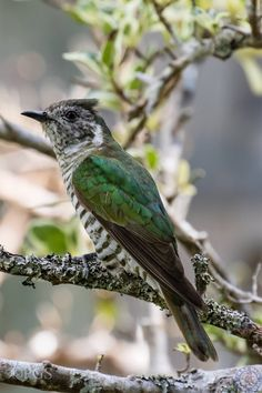 New Zealand Shining Cuckoo Owl Bird, Pet Birds, Kiwiana, Bird Artwork, Funny Birds, Kinds Of Birds, All Gods Creatures, Reptiles And Amphibians, Bird Drawings