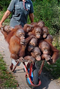 A wheelbarrow serves as school bus for a group of rescued baby Orangutans on their way to Orangutan school at International Animal Rescue Rehabilitation Centre in Ketapang, Borneo. Primates, Cute Baby Animals, Animals And Pets, Funny Animals, Animal Rescue Center, Baby Orangutan, Bornean Orangutan, Fauna, Funny Animal Pictures