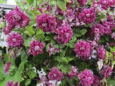 Clematis viticella Purpurea Plena Elegans  At/Co