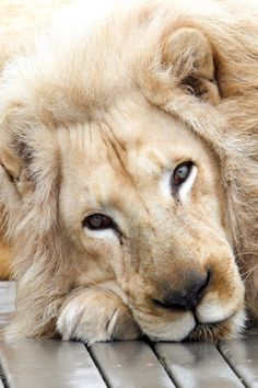 Just another Big Kitty.. looks so Peaceful & Content. ~ Ruth  ...   via | her paperweight