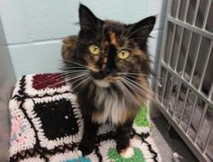 DARLING is an adoptable Domestic Long Hair Cat in Delhi, NY. DARLING entered the shelter on February 27, 2012 at the age of about 1 year old. She's a black/orange tortoiseshell with some white. As her name implies she really is a darling little girl.