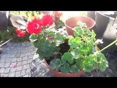 How to store geraniums? Geraniums, Youtube, Plants, Gardening, Store, Tent, Shop Local, Garten, Larger