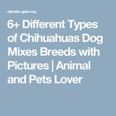 6+ Different Types of Chihuahuas Dog Mixes Breeds with Pictures | Animal and Pets Lover