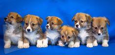 Welsh Corgi Puppies, Welsh Corgi Pembroke, Cute Puppies, Cute Dogs, Dogs And Puppies, Corgi Breeders, Corgi Puppies For Sale, Puppies Near Me, Funny Dogs