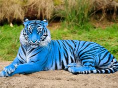 These 15 Animals Without Hair Are Barely Recognizable Blue Maltese Tiger Picture this picture seems very much Photoshoped Unusual Animals, Majestic Animals, Rare Animals, Animals And Pets, Big Cats, Cats And Kittens, Cute Cats, Tiger Pictures, Animal Pictures