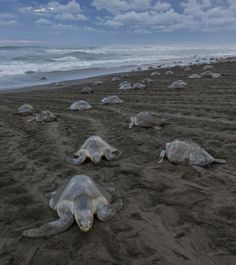 Positioning themselves on the sand to nest, only the lapping surf and their soft groans ca...