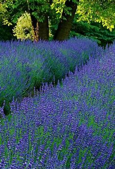 "Lavender ""Phenomenal"" -- holds up better than no other!"